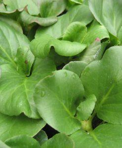 Ex Bergenia cordifolia2