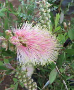 Nat_Callistemon angela shrub 1m