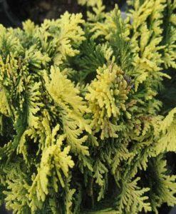 Con_chamaecyparis lawsoniana pygmaea argentea5