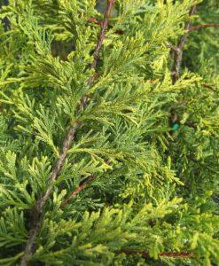 Cupressocyparis leylandii ferngold2