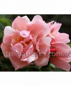 Br Rose_Albertine