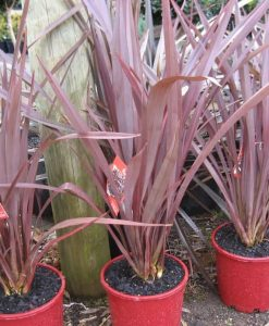 Exotic_phormium all black