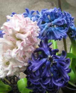 Hyacinth dutch_1