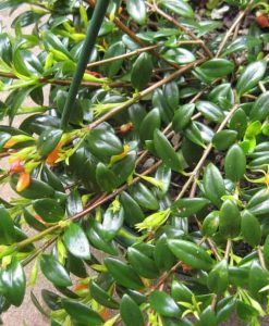 Nematanthus glabra goldfish plant_1