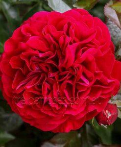 BR Rose_Bordeaux