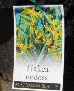 Nat_Hakea nodosa1