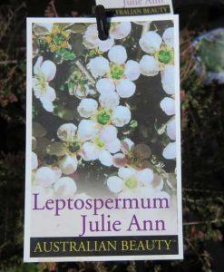 Nat_Leptospermum Julie Ann