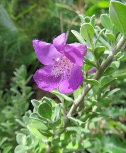 Nat_Leucophylla lavender lights3