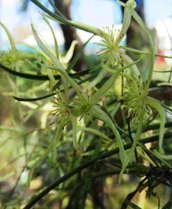 Nat_clematis microphylla2