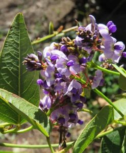 Nat_hardenbergia spring promise1
