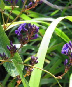 Nat_hardenbergia violacaea purple1