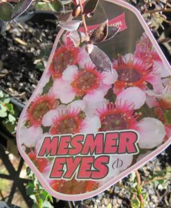 Nat_leptospermum mesmer eyes