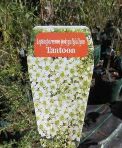 Nat_leptospermum polygalifolium tantoon