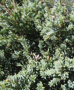 Nat_podocarpus alpinus2