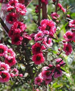 Nat_Leptospermum scoparium burgundy queen