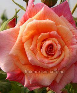Br Rose_Aloha