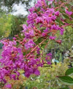 ExTree_lagerstroemia new orleans