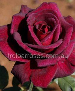 BlackVelvet_rose