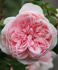 Cinderella_climb_rose