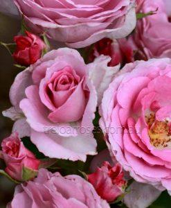 PerfumePerfection_rose