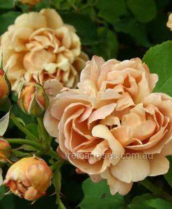 Cafe_rose